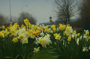 Daffodils on the Breton Road